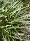 "Carex morrowii ""Ice Dance"" - vitrandig japansk starr"