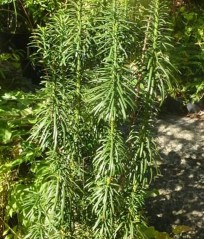 "Cephalotaxus harringtonia ""Fastigiata"" - pelarformad plommonideg"