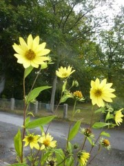 "Helianthus ""Lemon Queen"" - septembersolros"