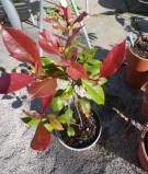 "Photinia x fraseri ""Little Red Robin"" - låg rödbladig glansmispe"