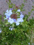 Plumbago auriculata (capensis) - blyblomma