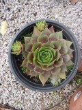 "Sempervivum ""Othello"" - rödbladig taklök"