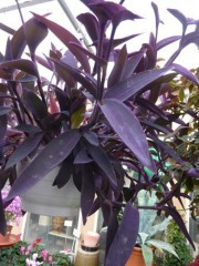 "Setcreasea pallida ""Purple Heart"""