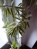 "Dracaena reflexa ""Song of India"" - guldbandsdracena"