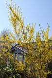 "Forsythia ""Northern Gold"" - forsythia"